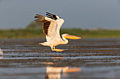 Great White Pelican (Pelecanus onocrotalus) adult, breeding plumage, flying, taking off from water, Danube Delta, Romania, June