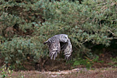 Great Grey Owl (Strix nebulosa) adult flying on edge of pine forest, controlled subject