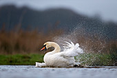 Mute Swan (Cygnus olor) adult male bathing in pond, Suffolk, England, December