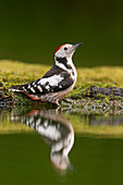 Middle Spotted Woodpecker (Dendrocopos medius) adult perched on edge of woodland pool, with reflection, Debrecen, Hungary, May