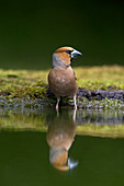 Hawfinch (Coccothraustes coccothraustes) adult male standing at water edge, Debrecen, Hungary, May