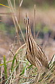 Great Bittern (Botaurus stellaris) adult standing in erect posture among reeds, Minsmere RSPB reserve, Suffolk, England, November