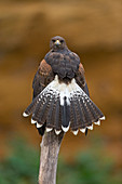 Harris' Hawk (Parabuteo unicinctus) juvenile perched on branch in canyon, with tail spread, controlled subject