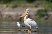 Great White Pelican (Pelecanus onocrotalus) adult, breeding plumage, with Caspian Gull (Larus cachinnans) adult, standing on driftwood, Danube Delta, Romania, June