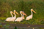 Great White Pelican (Pelecanus onocrotalus) 5 adults, breeding plumage, standing on water lillies, Danube Delta, Romania, June