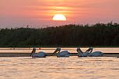 Great White Pelican (Pelecanus onocrotalus) 4 adults, breeding plumage, swimming at sunset, Danube Delta, Romania, June