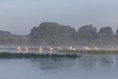 Eine Schar von weißen Pelikanen (Pelecanus onocrotalus), im Prachtkleid (auch Brutkleid), beim Schwimmen Donaudelta, Rumänien, Juni