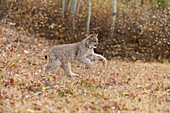 Canadian Lynx (Lynx canadensis) cub running at woodland edge, Montana, USA, October, controlled subject