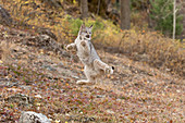 Canadian Lynx (Lynx canadensis) cub jumping in air in failed attempt to catch flying bird, Montana, USA, October, controlled subject