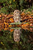 Waldkauz (Strix aluco) Erwachsener, sitzend auf einem Baumstamm am Wasserrand mit Spiegelung, Suffolk, England, November, kontrolliertes Subjekt