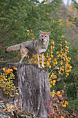 Coyote (Canis latrans) adult standing on stump, Montana, USA, October, controlled subject