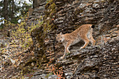Siberian Lynx (Lynx lynx) adult standing on rock face, controlled subject