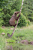 European Brown Bear (Ursus arctos arctos) adult climbing tree, Transylvania, Romania, June