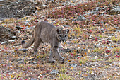 Puma (Felis concolor) adult walking on mountain side, Montana, USA, October, controlled subject