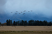 Sandhill Crane (Grus canadensis) flock flying coming in to land on wheat field, Kalispell, Montana, USA, October