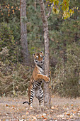 Siberian Tiger (Panthera tigris altaica) adult standing up to scratch claws on tree, controlled subject