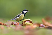 Great Tit (Parus major) adult perched on a conker, Suffolk, England, UK, September