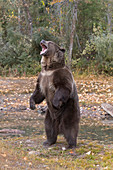 Grizzly Bear (Ursus arctos horribilis) adult standing on hind legs with open mouth, Montana, USA, October, controlled subject