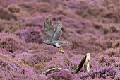 Northern Goshawk (Accipiter gentilis) adult female flying, taking off from branch in flowering heather, Suffolk, England, August, controlled subject