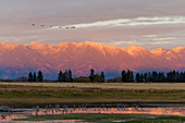 Sandhill Crane (Grus canadensis) flock standing in pool and flying overhead with mountain backdrop at sunset, Kalispell, Montana, USA, October