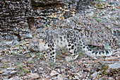 Snow Leopard (Panthera uncia) adult standing on rock face, controlled subject