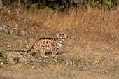 Puma (Felis concolor) cub standing on grassland, Montana, USA, October, controlled subject