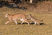 Puma (Felis concolor) adult and cub walking on grassland, cub jumping on mothers hind legs, Montana, USA, October, controlled subject