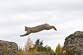 Bobcat (Lynx rufus) adult jumping between rocks, Montana, USA, Ocotber, controlled subject