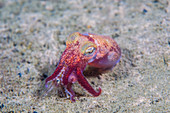 Stubby Squid, Rossia pacifica, feeding on a shrimp, Canada.