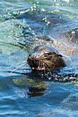 Galapagos sea lion Zalophus wollebaeki, Isla Plaza Sur aka Plaza South, Galapagos archipelago, Ecuador