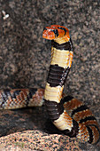 Cape coral snake Aspidelaps lubricus in threat display, Atlantic ocean shore, Western Cape Province, South Africa