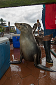 Galapagos sea lion Zalophus wollebaeki, Puerto Ayora fish market, Isla Santa Cruz, Galapagos archipelago, Ecuador
