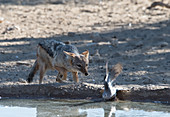 The Black-backed Jackals Canis mesomelas living near Nossob Camp in the Kgalagadi Transfrontier National Park, South Africa, have learned to ambush the doves coming daily in the hundreds to the local waterholes. Once caught in mid-air, the bird has to be swallowed quickly - usually whole - to avoid  it being stolen by other jackals nearby. With each individual following a tried and tested routine, the jackals are quite successful in their hunting, and what is even more remarkable is that their methods are being transmitted to other jackals, by active teaching or by observation and imitation.