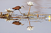 African Jacana - with water lily flowers\nActophilornis africanus\nGambia, West Africa\nBI025257