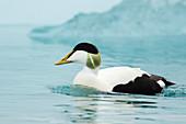 Common Eider - with blue iceberg\nSomateria mollissima\nJokulsarlon Lagoon\nIceland\nBI028380