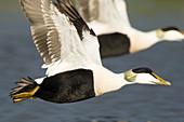 Common Eider - male in flight\nSomateria mollissima\nMerakkasletta Peninsular\nIceland\nBI028362\n