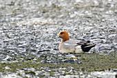 Wigeon - on edge of frozen lake\nAnas penelope\nLake Myvatn\nIceland\nBI028251\n