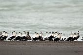Common Eider - post breeding flock of males on shoreline\nSomateria mollissima\nIceland\nBI026074