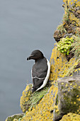 Razorbill - on breeding cliffs\nAlac torda\nLatrabjarg, Iceland\nBI026436