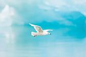 Glaucous Gull - immature bird flying past blue iceberg\nLarus hyperboreus\nJokulsarlon Lagoon\nIceland\nBI028808