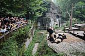 Tourists watching Pandas being fed\nChengdu Panda Breeding Centre\nSichuan Province\nChina\nMA003061\n