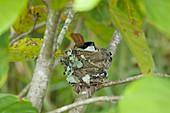 Satin Flycatcher - female on nest\nMyiagra cyanoleuca\nDaintree\nQueensland, Australia\nBI030132\n