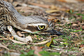 Bush Stone-curlew - relying on camouflage to hide\nBurhinus grallarius\nAtherton Tablelands\nQueensland, Australia\nBI031466