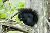 Eastern Grey Squirrel - black form\nSciurus carolinensis\nOntario, Canada\nMA003045\n