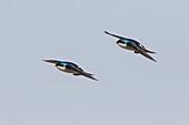Tree Swallow - in flight\nTachycineta bicolor\nOntario, Canada\nBI027283