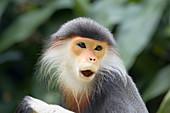 Douc Langur Monkey\nPygathrix nemaeus\nSingapore Zoo\nMA003484