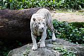 Bengal Tiger - white form\nPanthera tigris\nSingapore Zoo\nMA003501