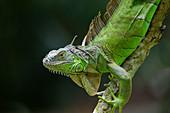 Green Iguana\nIguana iguana\nSingapore\nMA003502