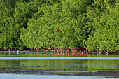 Scarlet Ibis (Eudocimus ruber). Congregating on mudflat beneath mangroves (Rhizophoraceae), in remaining warmth of the evening sunlight. Sharing site with herons and egrets (Egretta sp. ). Assembling, before moving off to roost for the night. Caroni Swamp. Trinidad. Tobago. Southern Caribbean. West Indies. February.