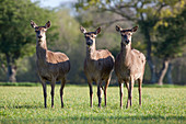 Red Deer (Cervus elaphus). Three hinds. Spring. Norfolk. UK.
